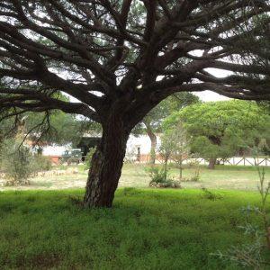 Paseo por Doñana para ver el Pino Centenario